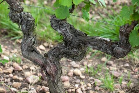 terroir: Old vines in the flowering season. Tuscany, Italy