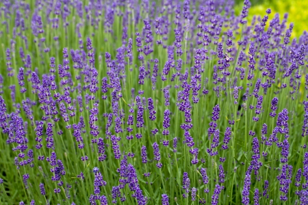 usse: Gardens with the flourishing lavender at castles in the valley of Loire