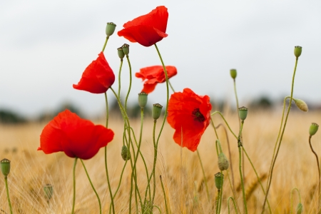 red poppies on the corn-field Stock Photo - 22509223