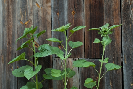 burgeoning: unripe sunflowers against the background of the wall from boards