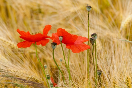 red poppies on the corn-field Stock Photo - 23382204