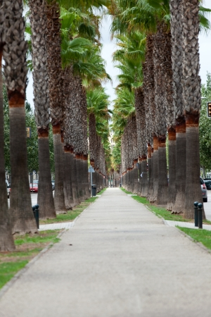 perspectiva lineal: La avenida interminable con las palmas en Manacor. Mallorca, España