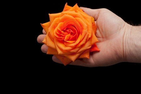 orange rose: Close up image of single orange rose  Stock Photo