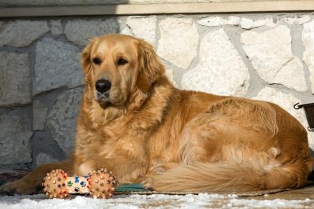 trusty: beautiful golden retriever