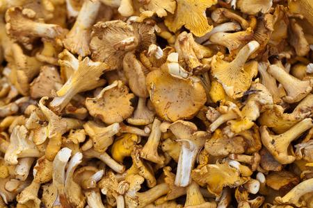 lamellar: Tasty chanterelles cutted in a summer forest