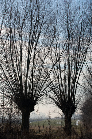 salix alba: Typical knotted pollard willows in Dutch Biesbosch landscape
