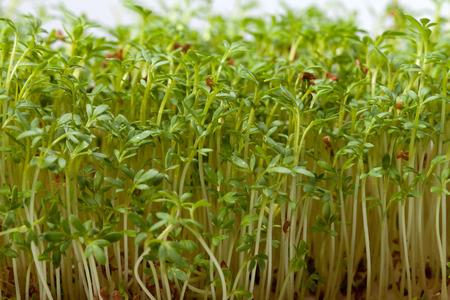 close uo: Cress seedlings isolated on white background