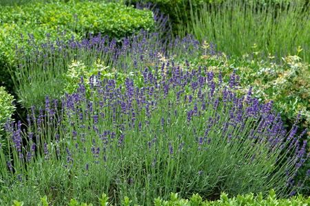 Gardens with the flourishing lavender at castles in the valley of Loire photo