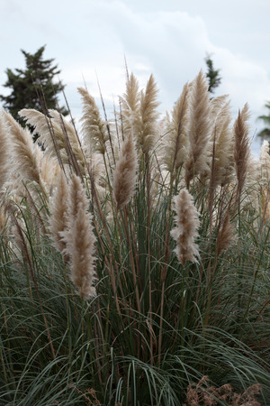 Cortaderia selloana or Pampas grass blowing in the wind photo