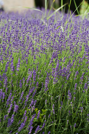 Garden with the flourishing lavender in France photo