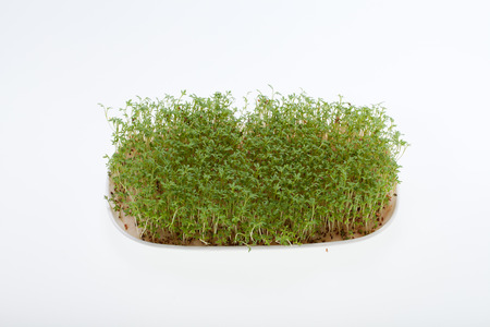 close uo: Cress seedlings isolated on white  Stock Photo