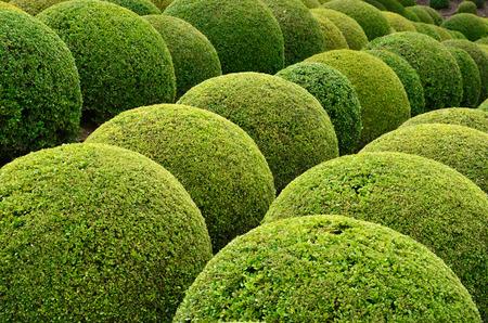 Boxwood  - Green garden balls in France, 版權商用圖片 - 27883130