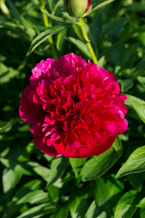 peonies, red flowers in the garden photo