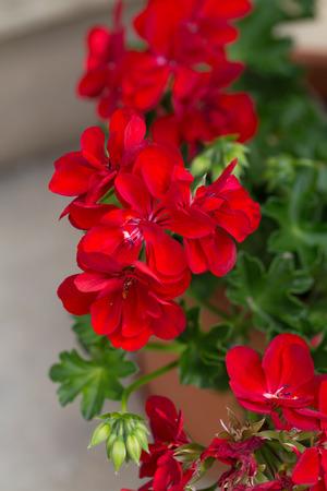 Red garden geranium flowers Stock Photo