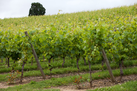 touraine: Vineyard in the famous wine making region - Loire Valley , France