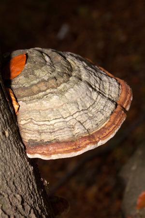 Closeup of tinder fungus on tree trunk  photo