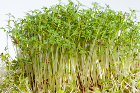 forefront: Fresh alfalfa sprouts and cress on white background