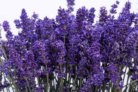 Lavender isolated on white background. Close up  photo