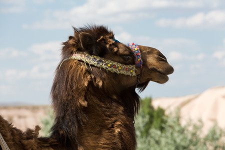 excursions: Head of the camel Stock Photo