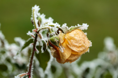 hoary: the winter impression - the hoary yellow rose in the garden