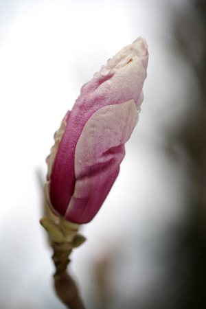 flower garden path: blossoming of magnolia trees during spring.