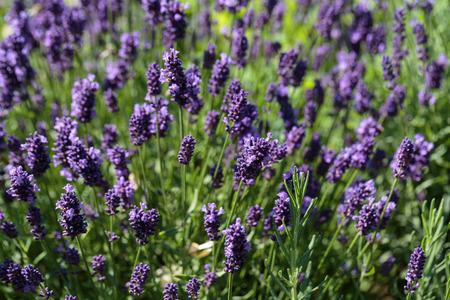 flourishing: Gardens with the flourishing lavender
