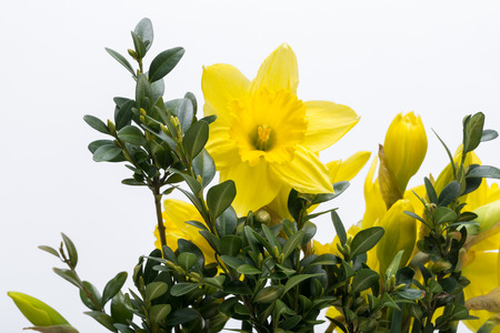 jonquil: Yellow jonquil flowers isolated on white background.