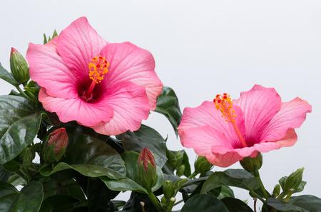 흰색 배경에 고립 된 핑크 히비스커스 꽃
