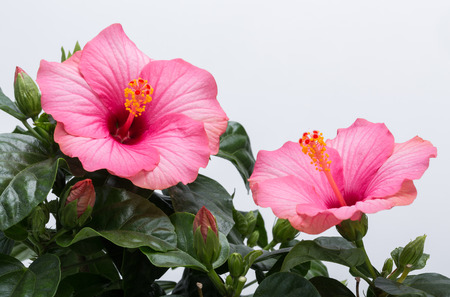 hibisco: flor rosada del hibisco aislada en el fondo blanco