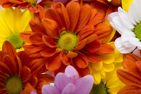 georgina: Close up of the colorful chrysanthemum flowers