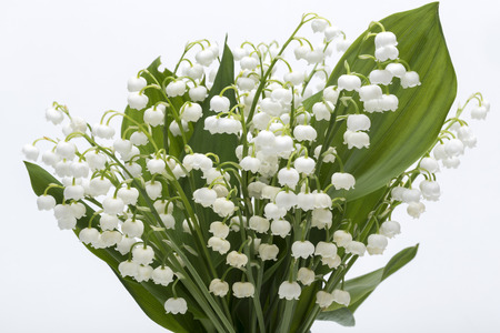 muguet: Lily of the Valley (Convallaria Majalis) isolated on white