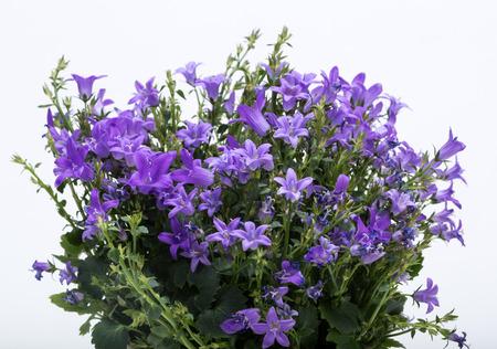 vigorously: Beautiful vivid purple spring flower bush Dalmatian bellflower (Campanula portenschlagiana)