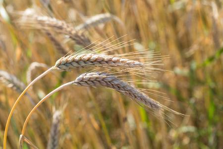 golden wheat in a farm field