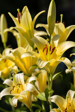 anthers: yellow lily flower in garden