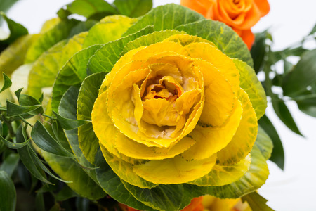 brassica: Ornamental kale with yellow, orange, and green leaves (Brassica oleracea)