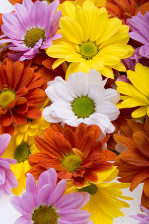 dalia: Close up of the colorful chrysanthemum flowers