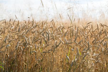 farm field: golden wheat in a farm field