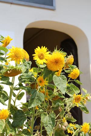 pistil: decorative sunflower, used as decoration on street