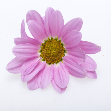 georgina: young pink chrysanthemum flower isolated on white