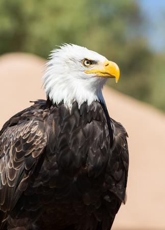 leucocephalus: An American Bald Eagle - Haliaeetus leucocephalus