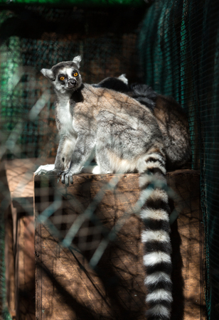 monkies: Ring-tailed Lemur (Lemur catta) looks out with big, bright orange eyes and watches from a branch in Madagascar.