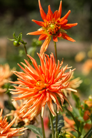 dalia: Close up of yellow and orange dahlia flower in garden Stock Photo