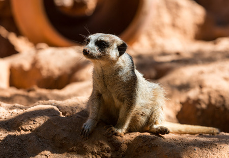 suricata suricatta: Meerkat stands guard (Suricata suricatta)
