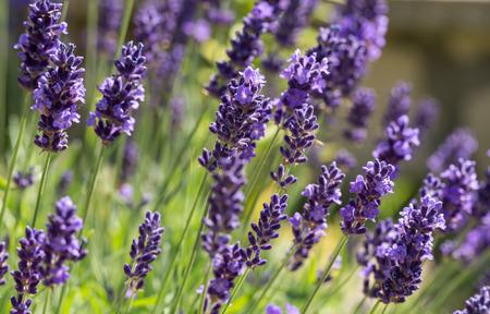 flor violeta: Jardines con la lavanda floreciente Foto de archivo