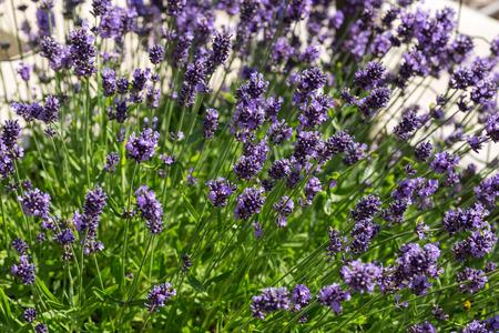 lavande: Gardens with the flourishing lavender
