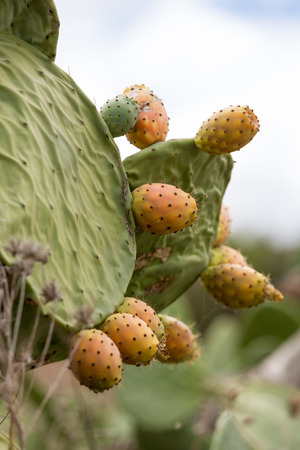 cactus species: Opuntia ficus-indica is a species of cactus Stock Photo