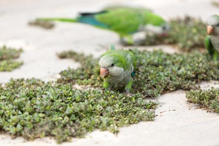 canary island: Green parrots on the street in Jandia on Fuerteventura. Canary Island . Spain