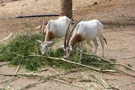 maha: Wild Arabian Oryx (Maha) (Oryx leucoryx)  in safari park