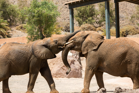 male bull: Two African Elephant bulls play-fighting Stock Photo