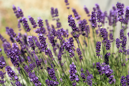 the loire: Garden with the flourishing lavender